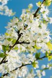 Spring cherry blossoms. Are in full bloom stock photo
