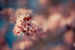 Spring Cherry blossoms. In full bloom. Spring concept Royalty Free Stock Image