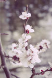 Spring Cherry blossoms in full bloom. Royalty Free Stock Image