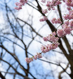 Spring cherry blossoms at Japan Stock Image