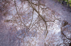 Reflection of Spring Cherry blossoms Royalty Free Stock Image