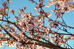 Spring Cherry Blossoms. Looking towards the sky through a blooming cherry tree royalty free stock images