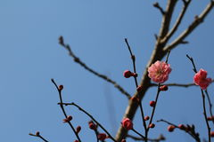 Spring cherry. The cherry blossoms that opened in April, now have been unable to start showing its smiling faces, thin and stunning, although there is no Stock Photos