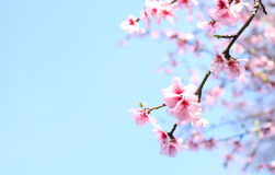 Spring Cherry blossoms. Over blue sky background Stock Photo