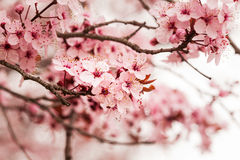 Spring cherry blossoms Stock Photography