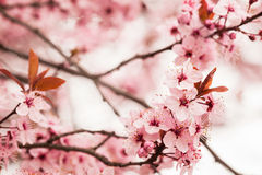 Spring cherry blossoms Royalty Free Stock Photo
