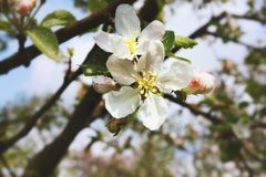 Flower cherry closeup. Blurred background. Spring flowers bloom royalty free stock photos