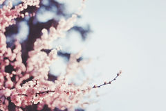Spring Cherry blossoms, Stock Photos