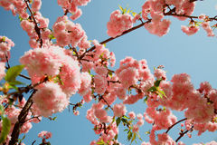 Spring Cherry blossoms, pink flowers Royalty Free Stock Images
