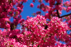 Spring cherry blossoms, pink flowers. Stock Images