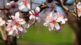 Spring cherry blossoms, pink flowers. stock video