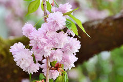 Spring Cherry blossoms, pink flowers Royalty Free Stock Image