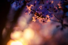 Spring Cherry blossoms, pink flowers Stock Photo