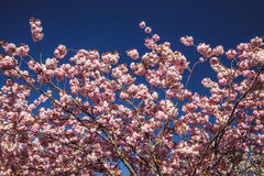 Spring Cherry blossoms, pink flowers on blue sky background Stock Images