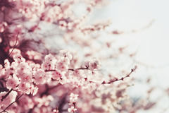 Spring Cherry blossoms. Pink flowers. Sakura Stock Photo