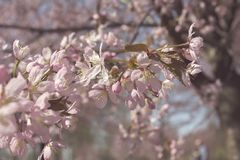Spring Cherry Royalty Free Stock Images