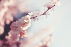 Spring Cherry blossoms. Sakura almond pink flowers Stock Photos