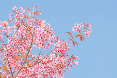 Spring Cherry blossoms Royalty Free Stock Image