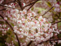 Spring Cherry blossoms sky with filter effect retro vintage style Royalty Free Stock Photo