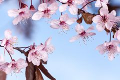 Spring cherry blossoms. Spring pink cherry blossom on blue background Stock Photo