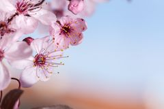 Spring cherry blossoms. Spring pink cherry blossom on blue background Royalty Free Stock Photo