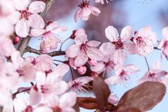 Spring cherry blossoms. Spring pink cherry blossom on blue background Stock Image