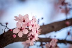 Spring cherry blossoms. Spring pink cherry blossom on blue background Stock Images