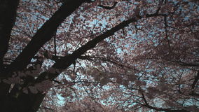 Spring Cherry Blossoms and Sunshine 4K. UHD stock footage