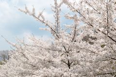 Spring cherry blossoms tree. Blue sky and white clouds in the ba Royalty Free Stock Photo