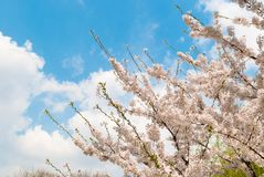 Spring cherry blossoms tree. Blue sky and white clouds in the ba stock photo