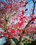 Spring cherry blossoms. Royalty Free Stock Photo