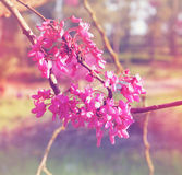 Spring Cherry blossoms tree at sunrise sun burst. abstract background. dreamy concept. image is retro filtered Stock Images