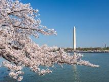 Washington Cherry Blossoms stock photo