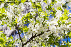 Spring Cherry blossoms, white  flowers on a blue sky background Stock Images