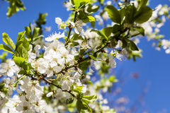 Spring Cherry blossoms, white  flowers on a blue sky background Stock Image
