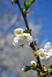 Spring with cherry blossoms. Wonderful, colorful spring and perfumed.The cherry blossoms were opened in all its splendor to the delightfully blue sky stock images