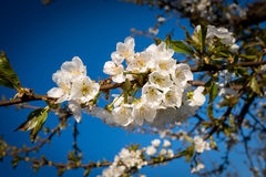 Spring cherry bosoms on a tree limb Stock Images