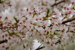 Spring cherry branch Stock Photos