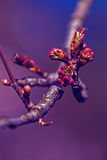 Spring cherry bud in blue light Stock Photography