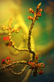 Spring cherry bud in sunset light  1 Royalty Free Stock Photography