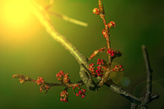 Spring cherry bud in sunset light 2 Royalty Free Stock Photography