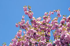 Spring cherry flower Royalty Free Stock Images