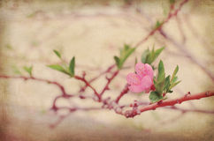 Spring cherry flower. Spring Time - a cherry tree branch with flower and leaves Royalty Free Stock Photo