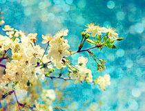 Spring cherry flowers. On grunge blue background and soft bokeh lights Stock Photos