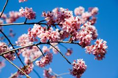 Spring cherry flowers. Cherry tree in spring bloom with a blue sky in the background Stock Photography