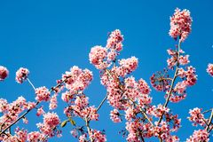 Spring cherry flowers. Cherry tree in spring bloom with a blue sky in the background Stock Photos