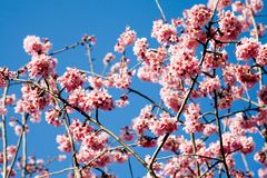 Spring cherry flowers Royalty Free Stock Image