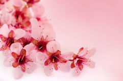 Spring cherry flowers background Stock Photos