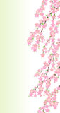 Spring cherry flowers branch stock photography