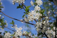 Spring, cherry flowers, open-air, sunny day, sky, tree, garden, bloom. royalty free stock image